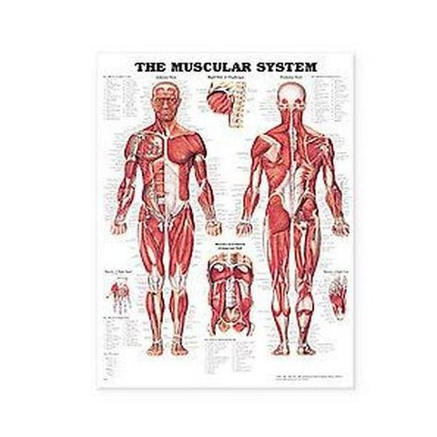 The Muscular System Anatomical Chart (Wallchart)