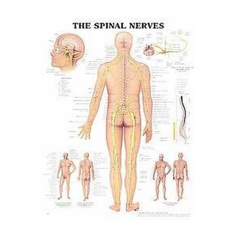 Spinal Nerves Chart (Wallchart)