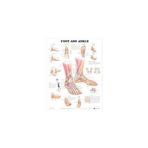 Foot and Ankle Anatomical Chart (Wallchart)