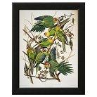 """Art.com -Carolina Parakeet, from """"Birds"""