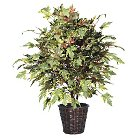 "Frosted Maple Extra Full Bush on three or more Dragonwood Trunks in Dark Brown Rattan Container (48"")"