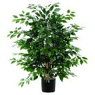 "Ficus Extra Full Bush on three or more Dragonwood trunks (48"")"