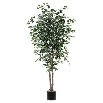 "Variegated Ficus Deluxe Natural Hardwood Trunks with American made Excelsior in Black Plastic Pot (72"")"